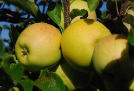 Podzimní výstava ovoce na dvorku muzea